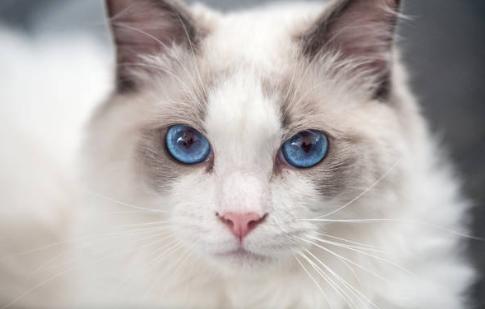 ラグドール,美猫