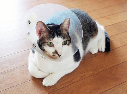 猫,結膜炎